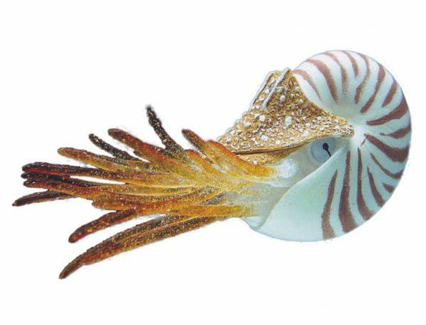 Aqua Deco Drijvende Nautilus 10cm