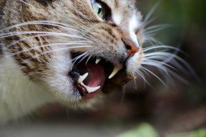 Gebit van de kat verzorgen