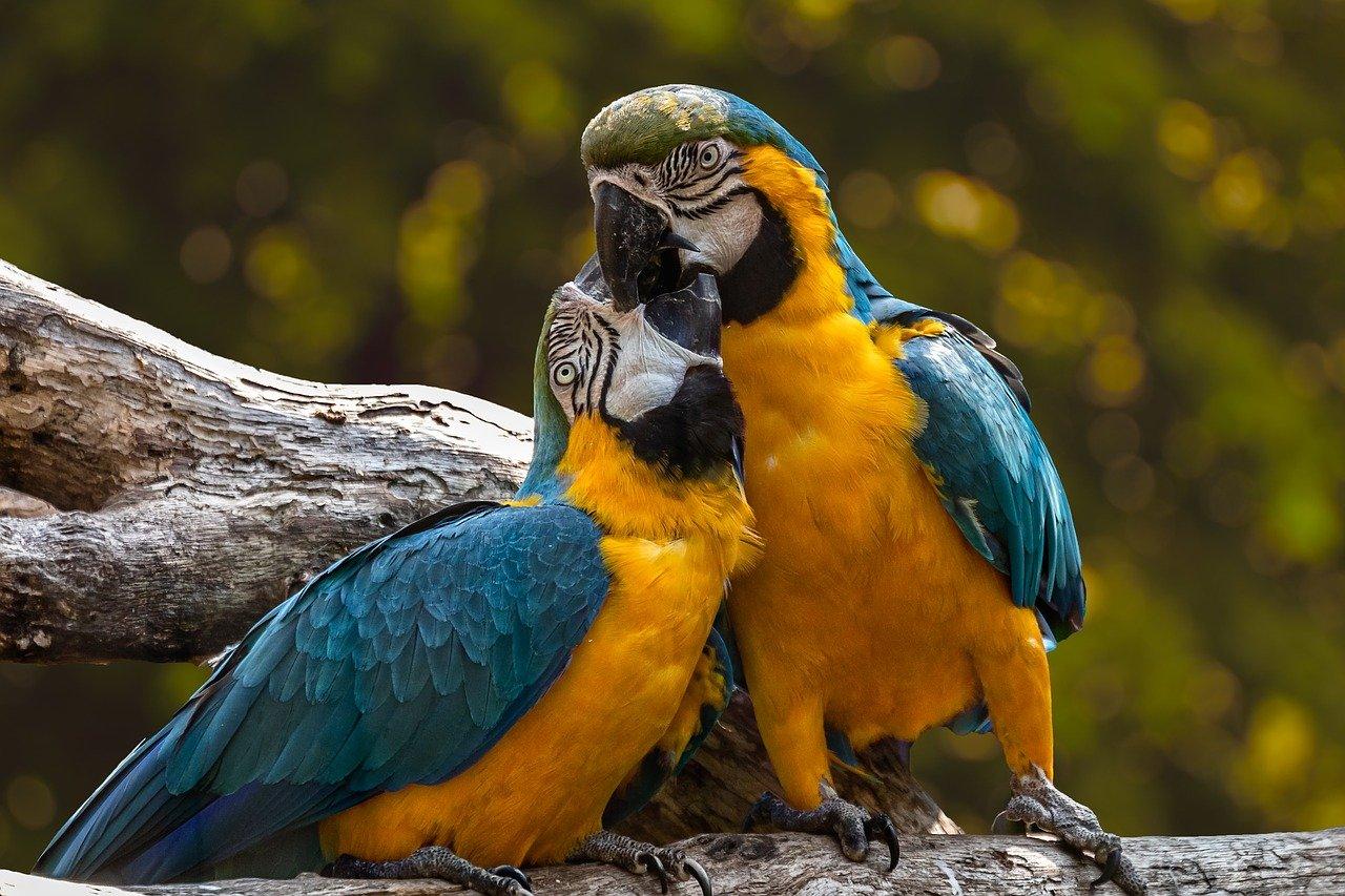 Een papegaai als huisdier houden en verzorgen